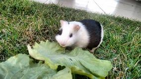 Pork eating lettuce. Guinea pig eating lettuce on grass royalty free stock images