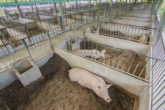 Pork farm Stock Images