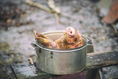 The pork head is in the pan, beheading, outdoors, Ukraine Stock Photography
