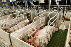 Pork plant Royalty Free Stock Photos