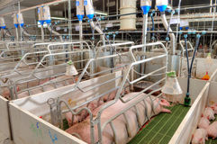 Pork plant Stock Photography