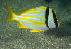 Porkfish. Anistotremus virginicus picture taken in south east Florida Stock Image