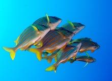 Porkfish en el mar de Cortez cerca de Cabo San Lucas Imagen de archivo libre de regalías