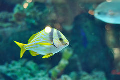 Porkfish grants Stock Images