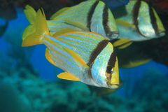Porkfish grunt Stock Photos