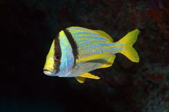 Porkfish grunt Stock Photo