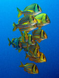 Porkfish at Sea of Cortez near Cabo San Lucas Royalty Free Stock Photos