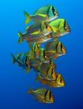 Porkfish at Sea of Cortez near Cabo San Lucas. Small school of Porkfish at Sea of Cortez near Cabo San Lucas Royalty Free Stock Photos