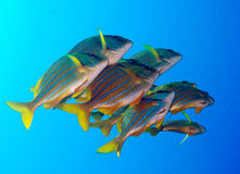 Porkfish at Sea of Cortez near Cabo San Lucas. Small school of Porkfish at Sea of Cortez near Cabo San Lucas royalty free stock image