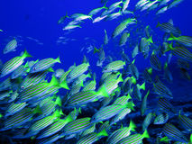 Porkfish at Sea of Cortez near Cabo San Lucas. Small school of Porkfish at Sea of Cortez near Cabo San Lucas royalty free stock photos