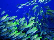 Porkfish at Sea of Cortez near Cabo San Lucas Royalty Free Stock Photos