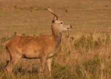 poroże jeleni obraz stock