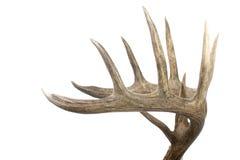 poroże samiec wielki ustalony bocznego widok whitetail Fotografia Royalty Free