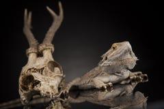 Poroże, smok jaszczurka na czerni lustra tle Zdjęcia Royalty Free