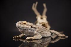 Poroże, smok jaszczurka na czerni lustra tle Fotografia Stock