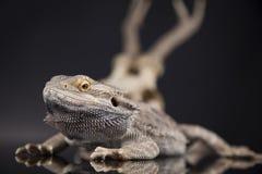 Poroże, smok jaszczurka na czerni lustra tle Fotografia Royalty Free