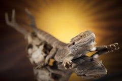 Poroże, smok jaszczurka na czerni lustra tle Obrazy Royalty Free
