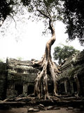 Porosły Banyan drzewo zakorzenia na świątyni w Kambodża Zdjęcie Royalty Free
