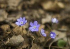 Porostnica (Hepatica nobilis) zdjęcia stock