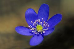 Porostnica kwitnie Hepatica nobilis w wiosna lesie Zdjęcia Stock