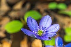 Porostnicy kwitną z małego insekta wczesną Słowacką wiosną, zbliżenie (Hepatica nobilis) obrazy stock