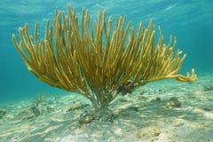 Porous sea rod gorgonian Pseudoplexaura porosa Stock Photos