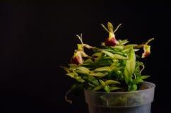 Porpax d'Epidendrum photographie stock