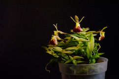 Porpax Epidendrum Стоковая Фотография