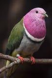 porphyreus Cor-de-rosa-dirigido de Ptilinopus da pomba do fruto fotografia de stock