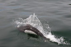 Porpoise breaching ocean. Closeup of Dall's porpoise breaching surface of ocean royalty free stock photo