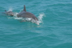 Porpoise Dolphin & Baby. Dolphin mom and baby swimming in the ocean Stock Images