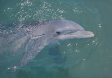 Porpoise Royalty Free Stock Photos