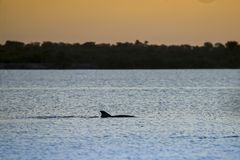 Porpoise swims in a river at sunset. A bottle-nosed dolphin, Tursiops truncatus, porpoise, swims in the Banana River at sunset near Titusville, Florida, February Stock Photo