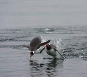 Porpoising pingvin Fotografering för Bildbyråer