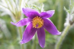 Porpora alpina del fiore del pulsatilla Immagini Stock Libere da Diritti