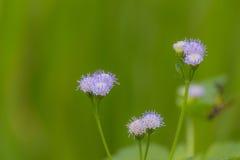 Porpora del polline dell'erba Fotografia Stock Libera da Diritti