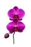 porpora dell'orchidea Immagini Stock Libere da Diritti
