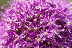 Porpora di colore di Giganteum dell'allium del fiore Fotografia Stock