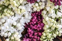Porpora e bianco lilla su un bordo di legno Fotografie Stock Libere da Diritti