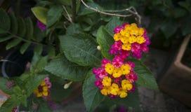 Porpora e fiore giallo della lantana dopo la pioggia fotografie stock libere da diritti