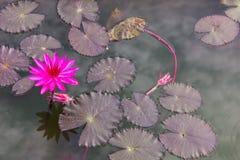 Porpora e foglie di Lotus Immagini Stock