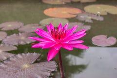 Porpora e foglie di Lotus Fotografia Stock