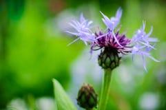 Macro fiore porpora Fotografia Stock Libera da Diritti