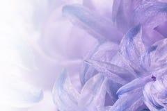 Porpora luminosa floreale - fondo bianco Fiori del primo piano bianco-blu-viola del giacinto Collage del fiore per la cartolina immagini stock
