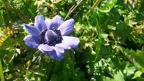 Porpora nel giardino Immagini Stock
