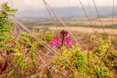 Porpora selvaggia delle orchidee, fiori che si muovono nel vento Fotografie Stock