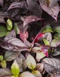Porpora stupefacente e foglie verdi Fotografia Stock Libera da Diritti