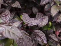 Porpora stupefacente e foglie verdi Immagini Stock