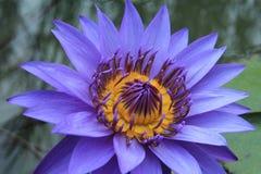 Porpora waterlily Fotografia Stock Libera da Diritti