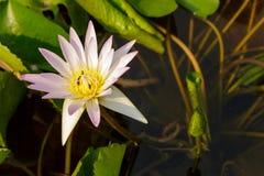 Porpora waterlily in vaso da fiori ed in ape che mangiano fiore Fotografie Stock Libere da Diritti